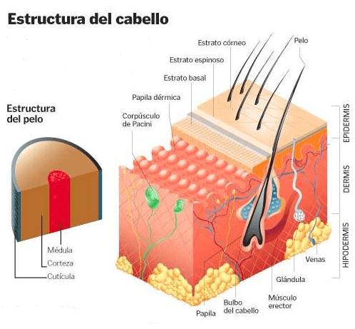 estructura capilar interna